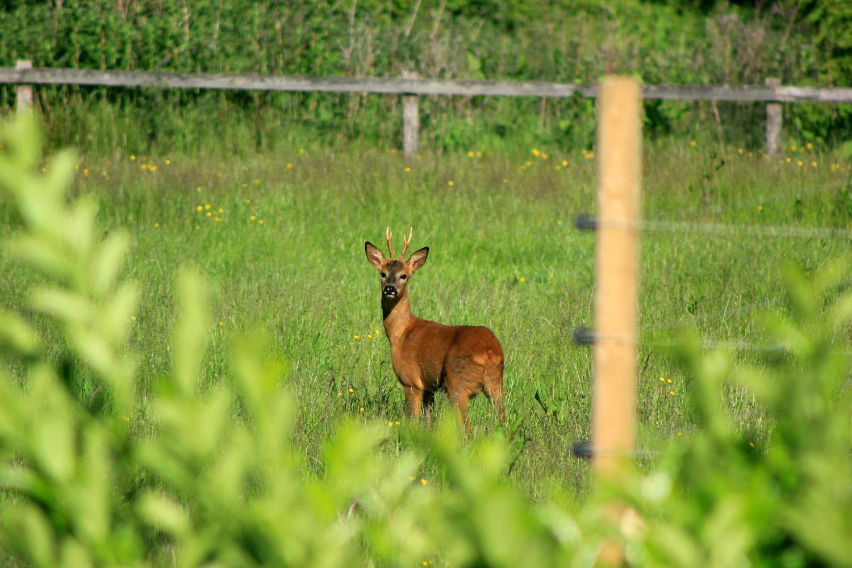 deer near the orchard.jpg