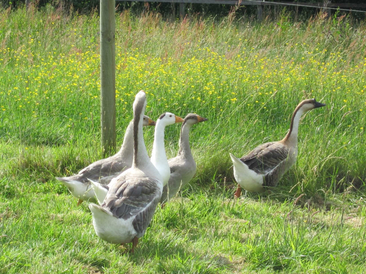 3 month old goslings - can you spot which are the parents?