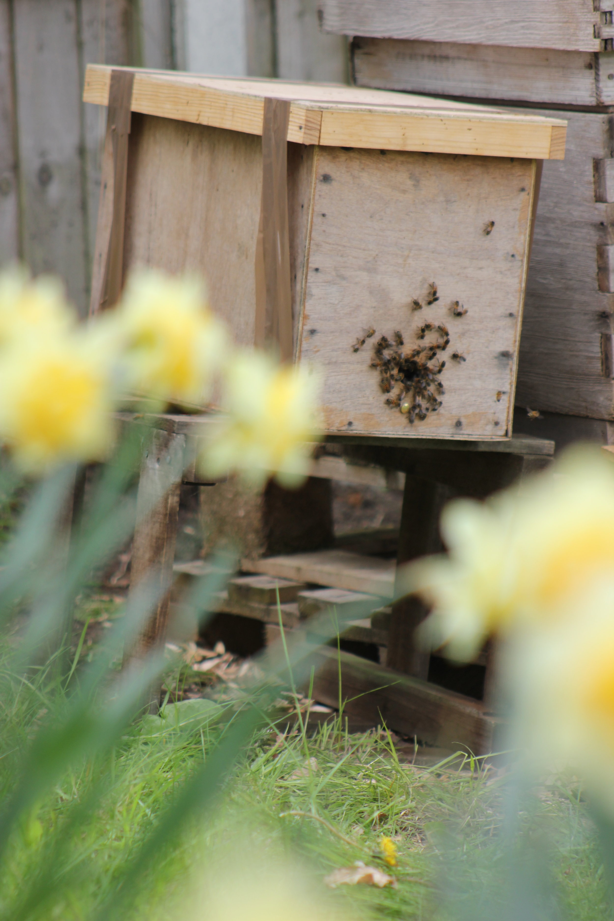 Busy bees moving into their new hive in the meadow