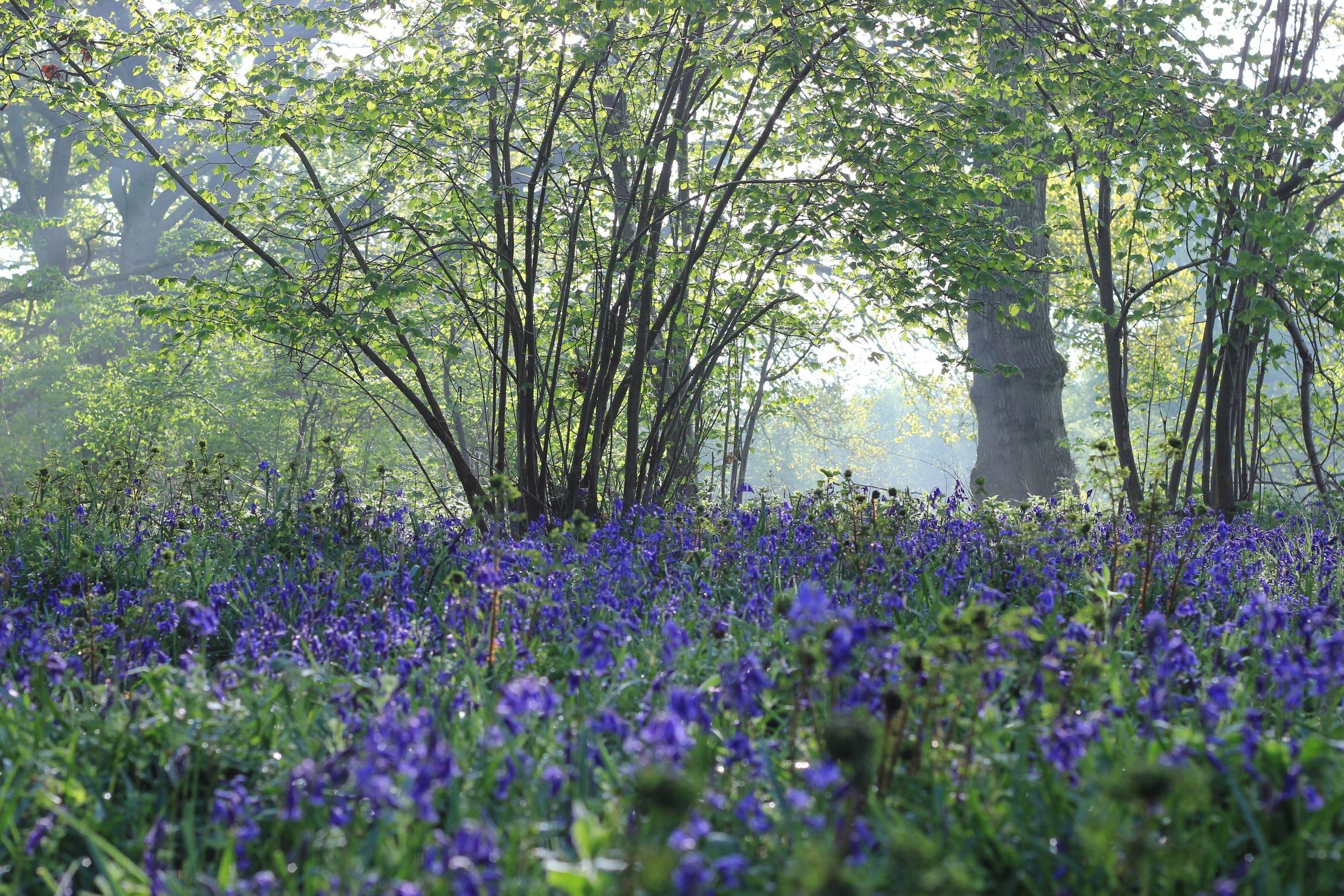Bluebells have emerged in parts of the woodland after coppicing has allowed the sun to reach them