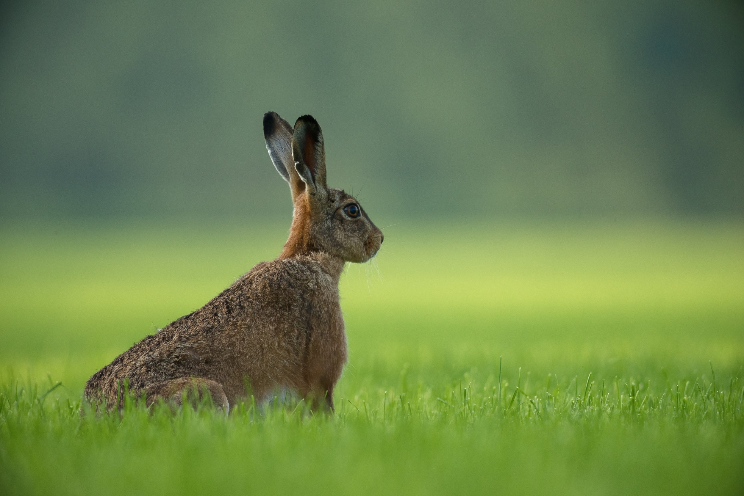 Hare in Norfolk at Springtime