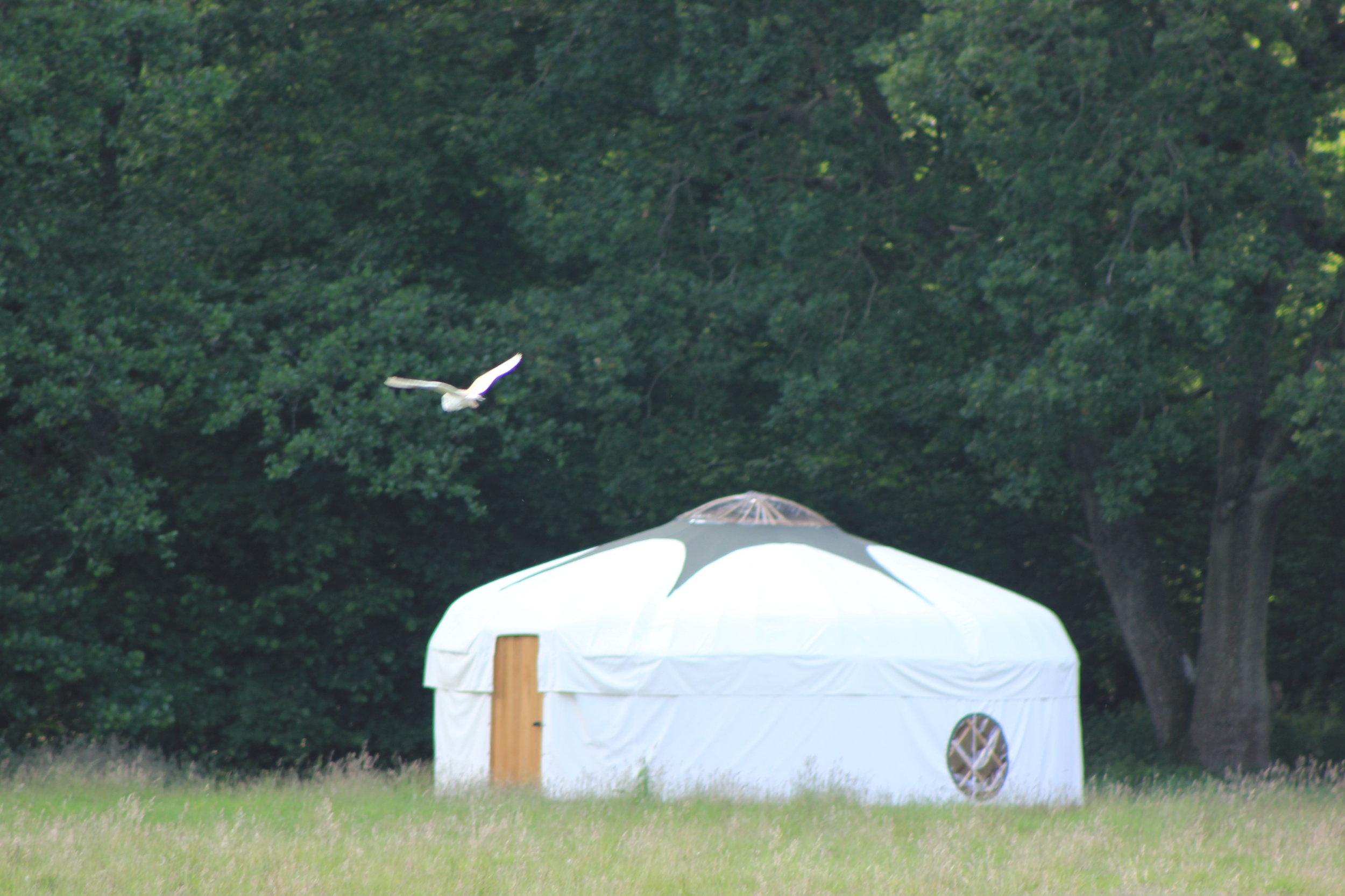 Barn owl hunting by Oak Tree Yurt