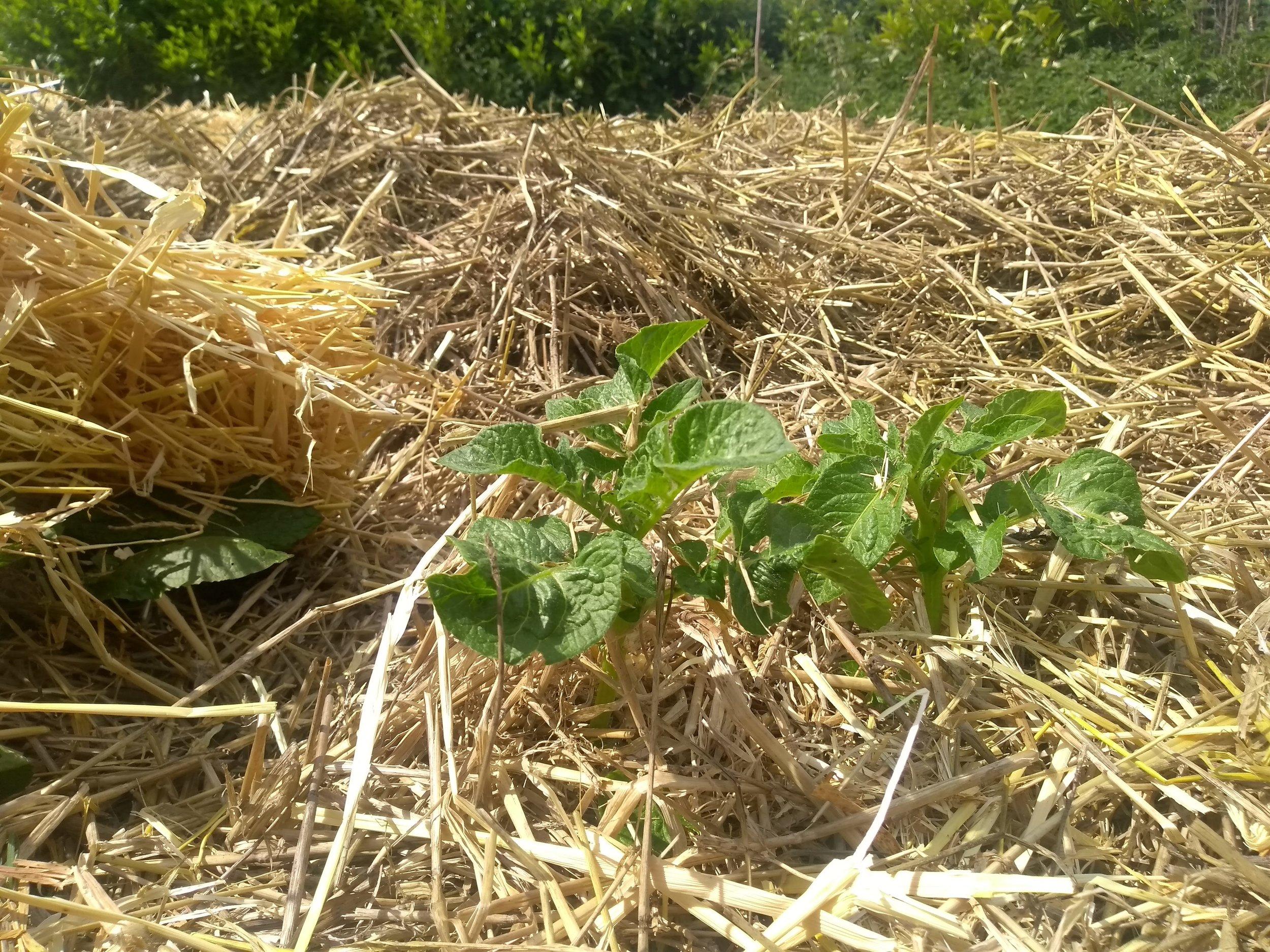 new potato seedling 2.jpg