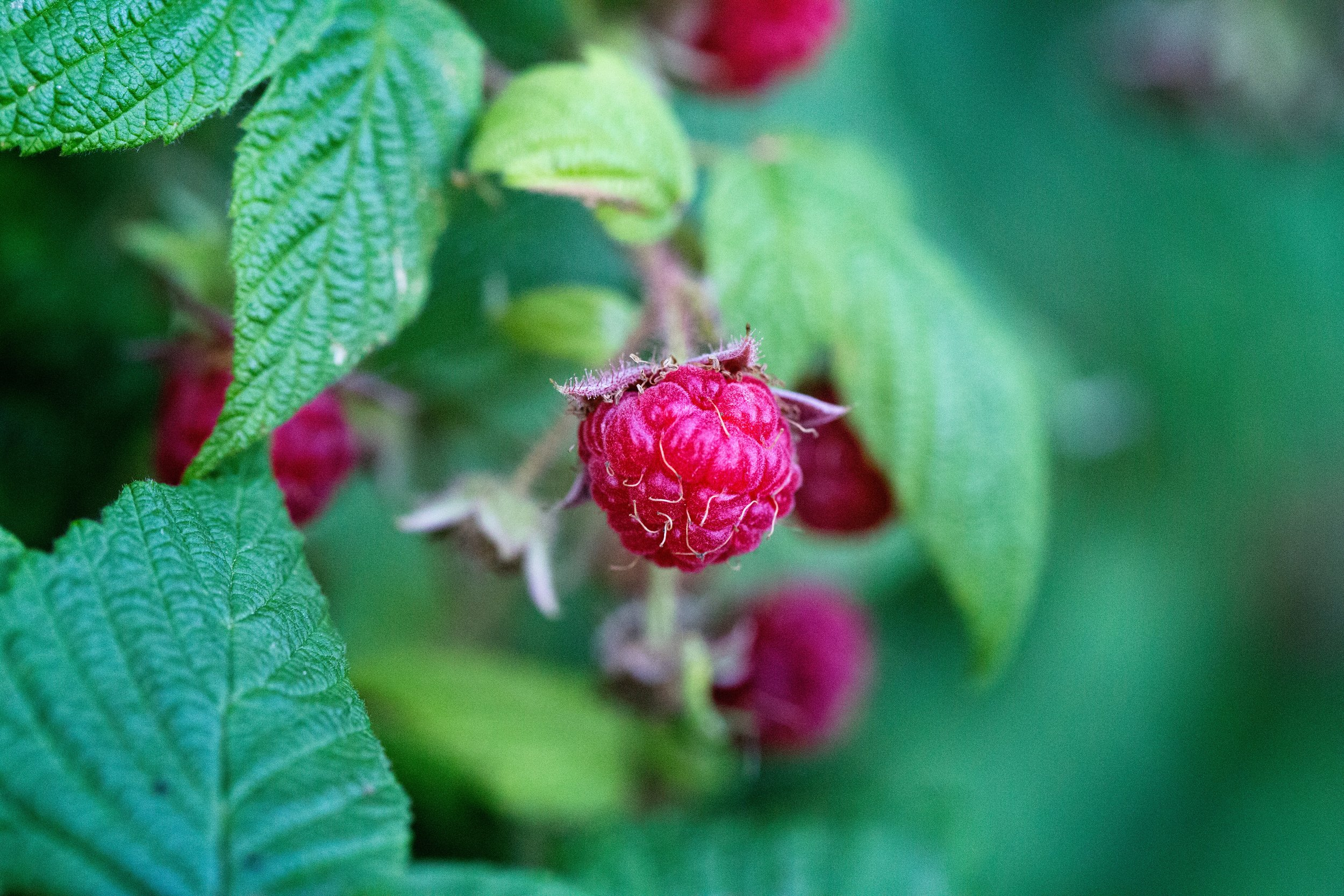 Raspberries growing on a bush - delicious!
