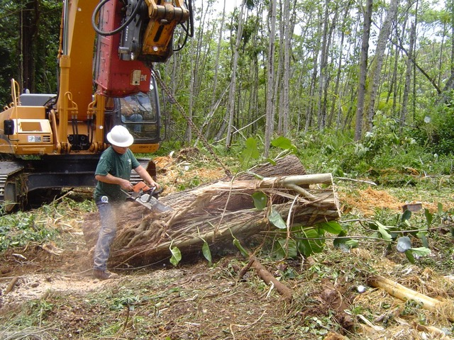 "Cutting the ""strangler fig"" off the Mahogany log."