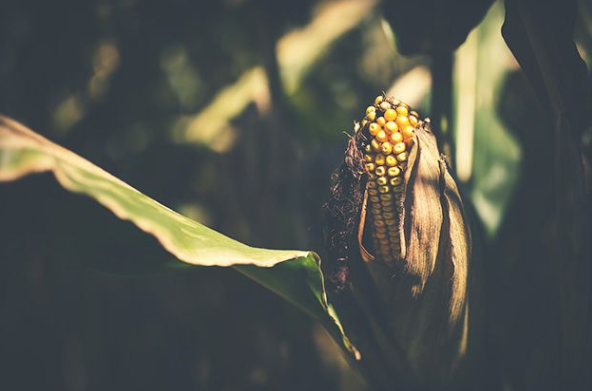 What you need to know about organic corn - 5/29/18