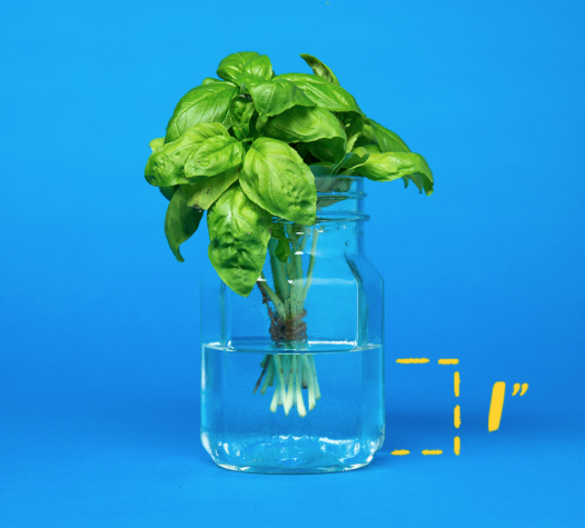 For real how to store your basil. - This is really what's up. You need to store your basil like it is a bouquet of flowers and leave it on your counter. 100% it will last AT LEAST A WEEK. Just put the ends in water, and that's it! Not to mention, there aren't any flower bouquets that smell quite as good as this.