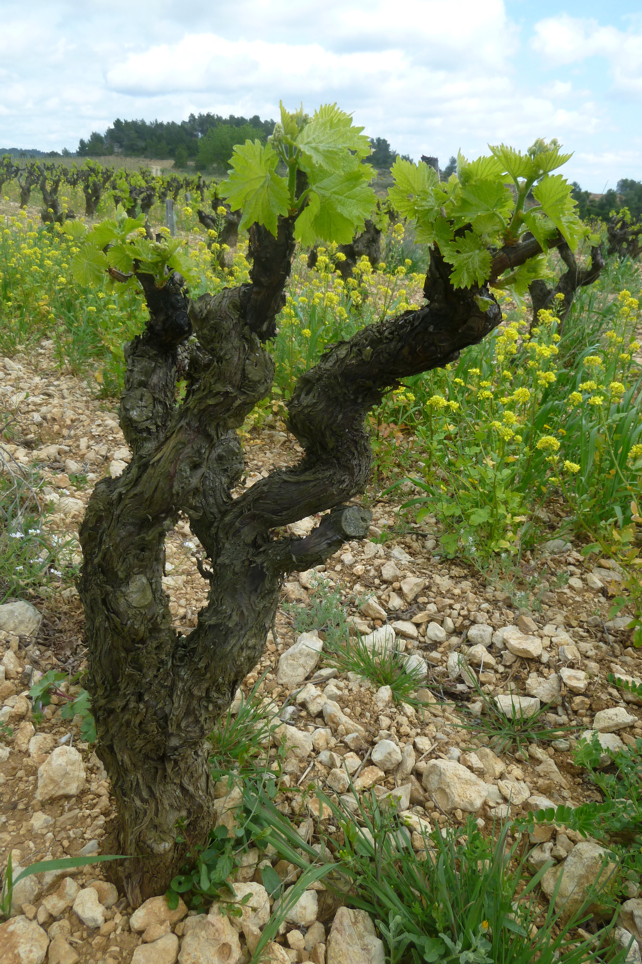 Carignan vines - Les Anciens - jacques herviou.JPG