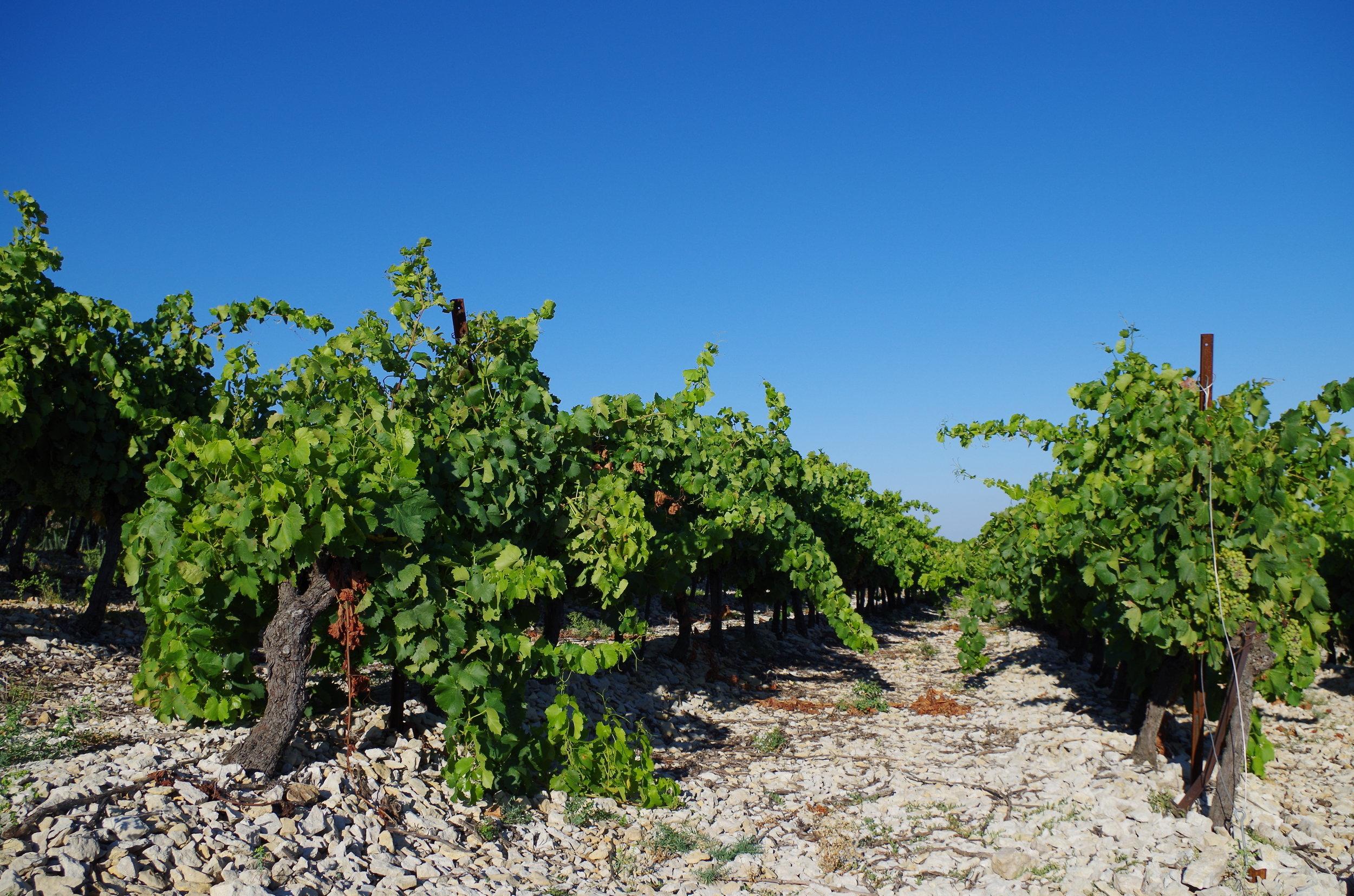 Las Combes Grenache vineyard - jacques herviou.JPG