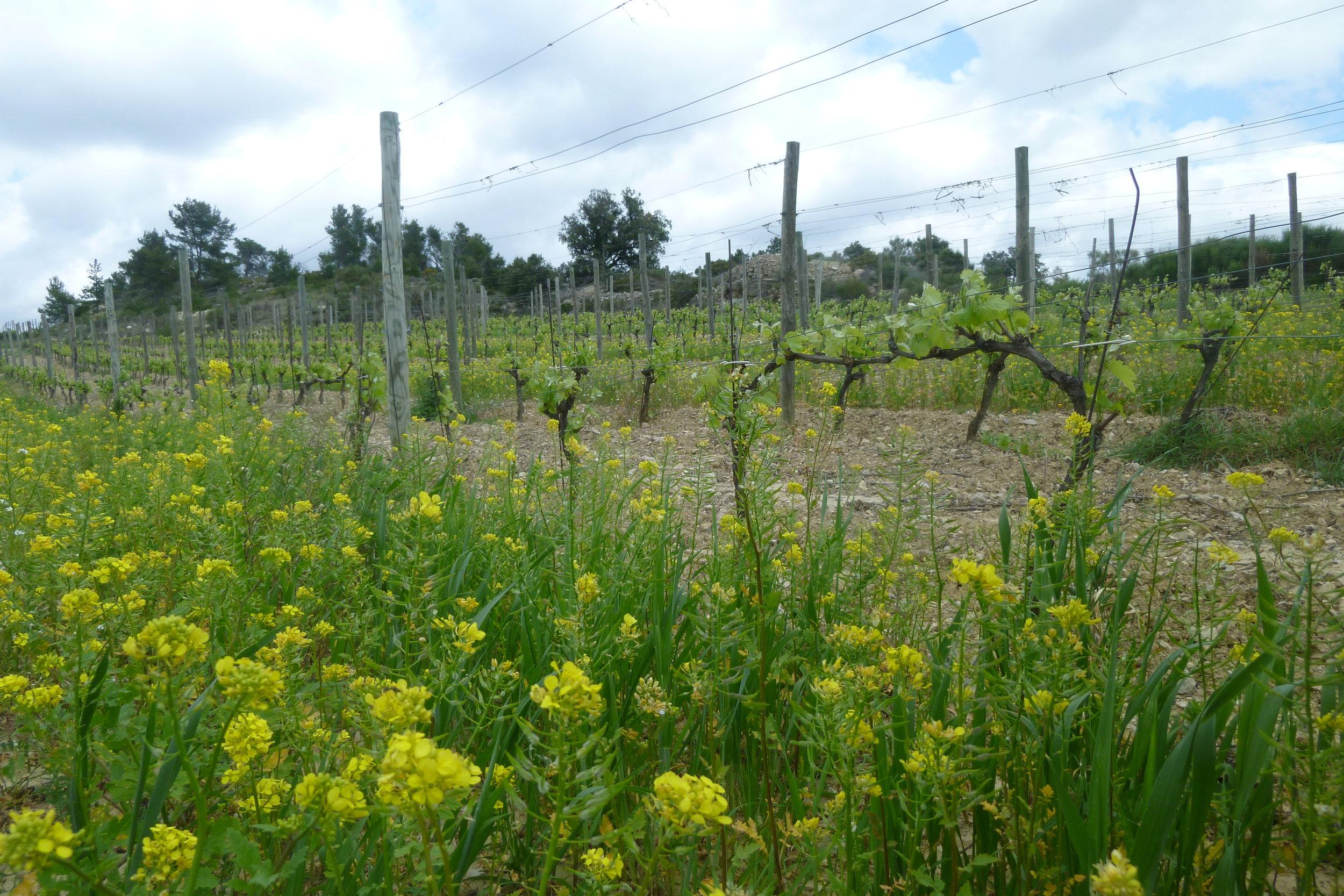 Les Anciens Vineyard (2) - jacques herviou.JPG