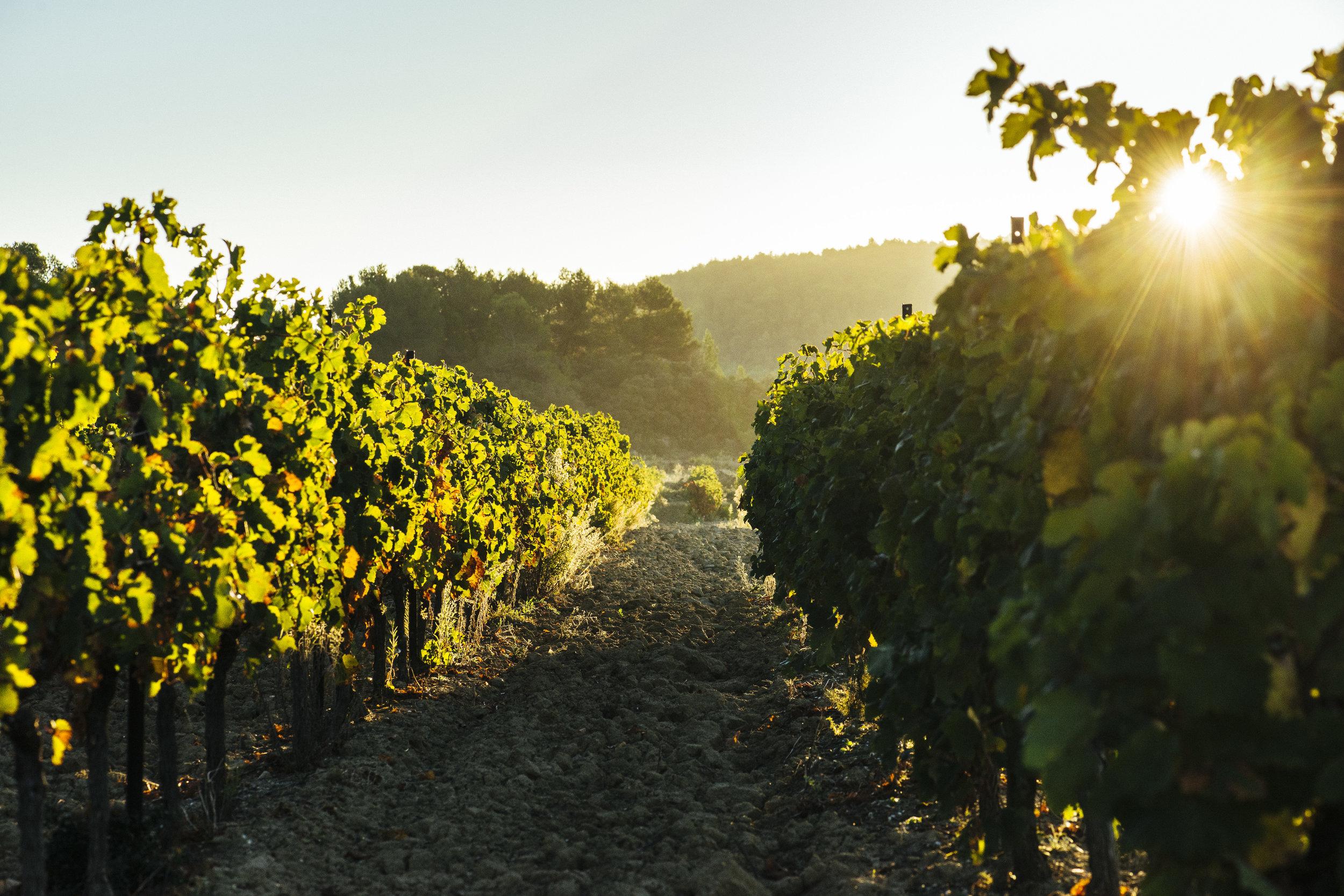 sun in vineyards Ludovic CHARLES.jpg