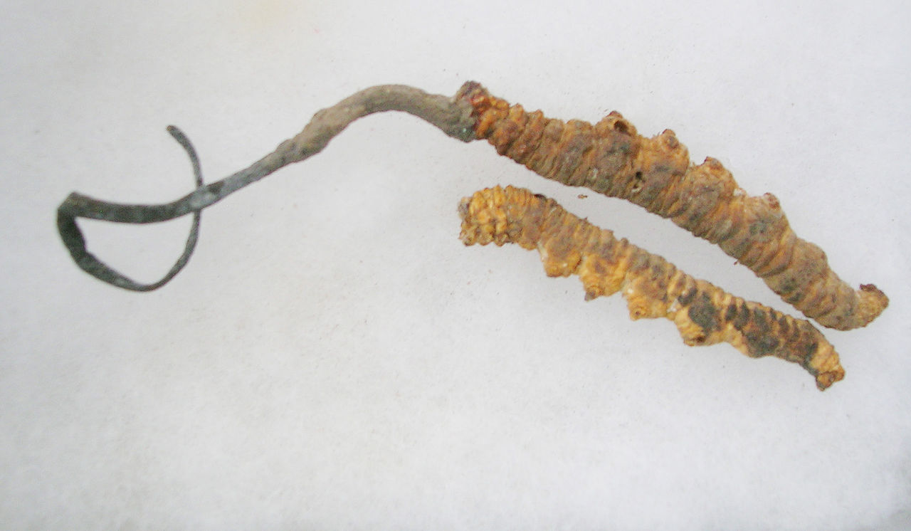 A CORDYCEPS MUSHROOM (LEFT) EMERGES FROM A DEAD CATERPILLAR