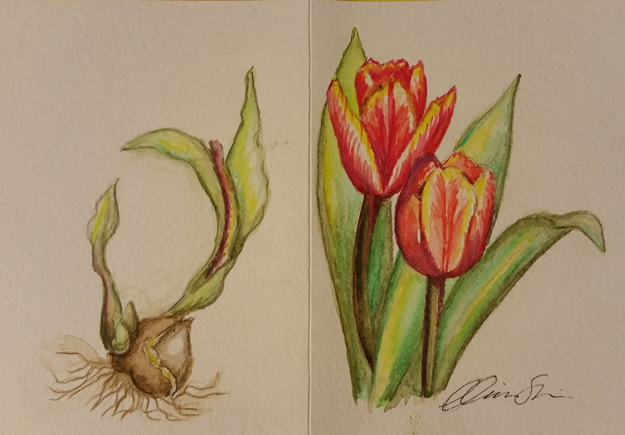 Variagated Tulips 2