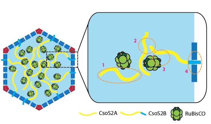 A model for CsoS2 function (yellow)in the assembly of the carboxysome.