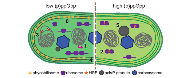 Model for the cyanobacterial stringent response adapted from Hood et al. 2016