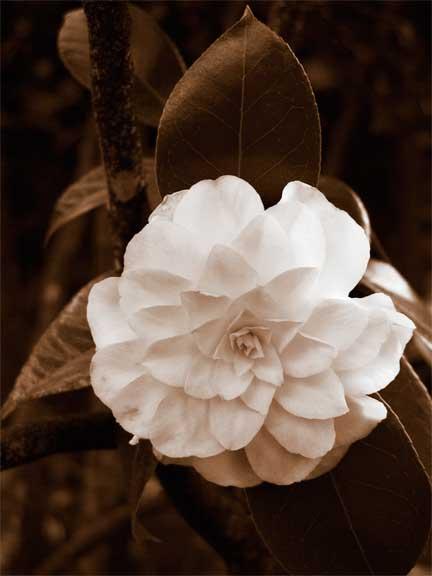 Camellia-6.jpg