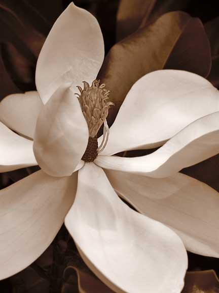 Magnolia-II.jpg