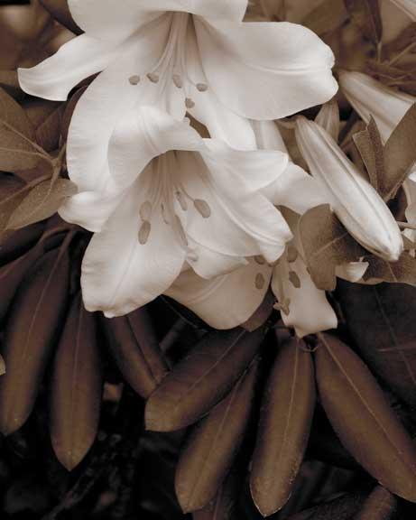Two-Lilies.jpg