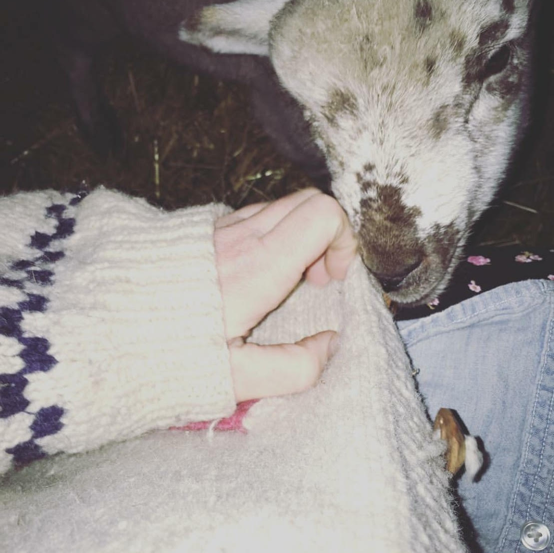 Here is Willie  in the first night or two, trying to eat a button from the wool sweater I would wear when I fed them. I thought if I wore a wool sweater to feed them they would think I was their mama and would feel better about their new home.