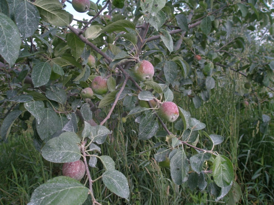 A well-thinned organic apple crop, covered in protective clay to keep the chewing pests away.