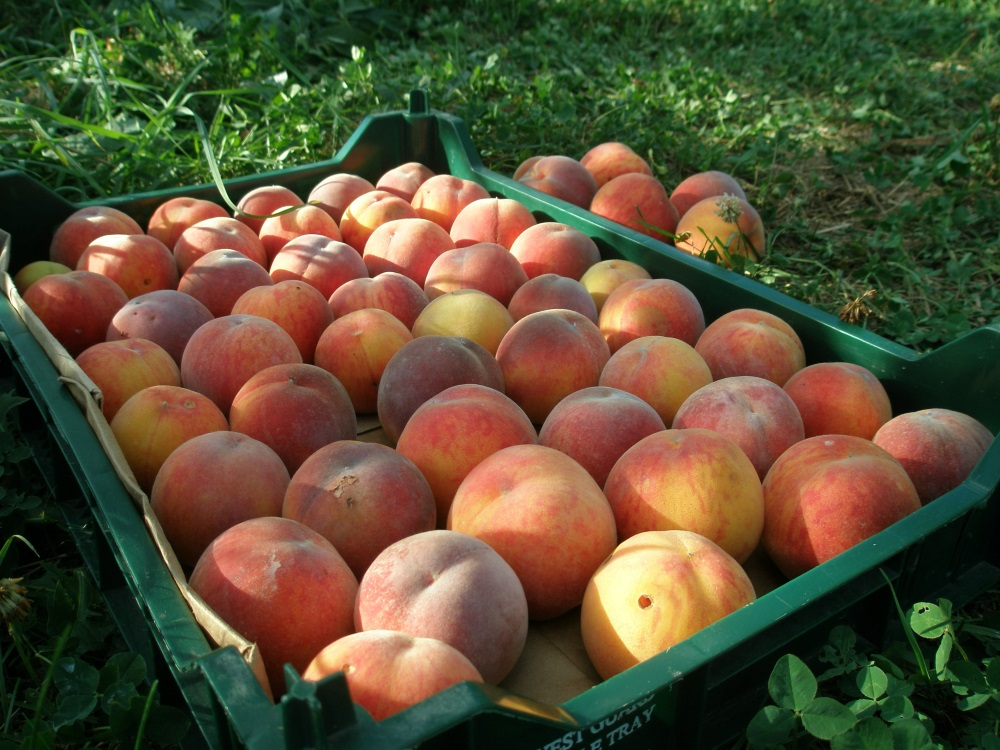 Peach harvest at West Haven Farm