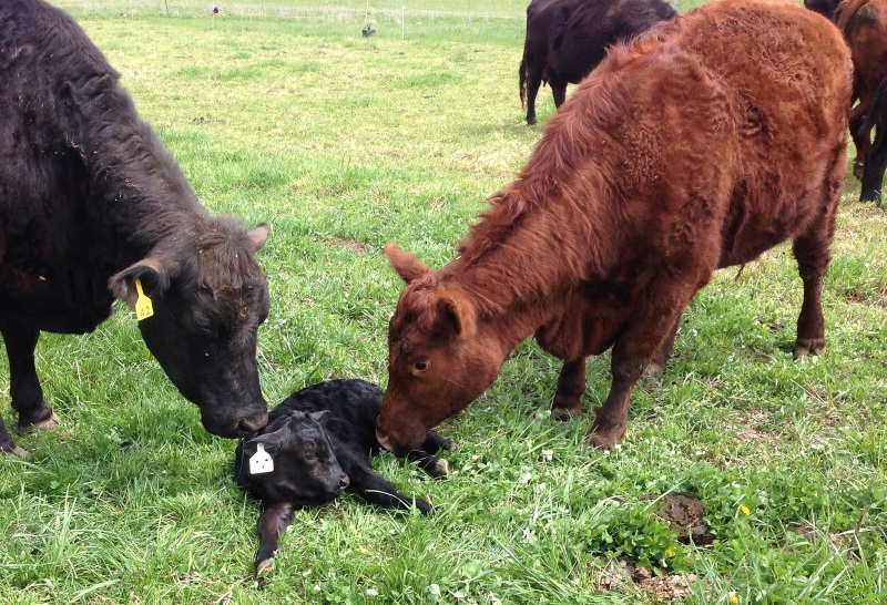 Jonathan, first calf for Forest (red mama).  Calf 3 of 6 this year for  Good Life Farm
