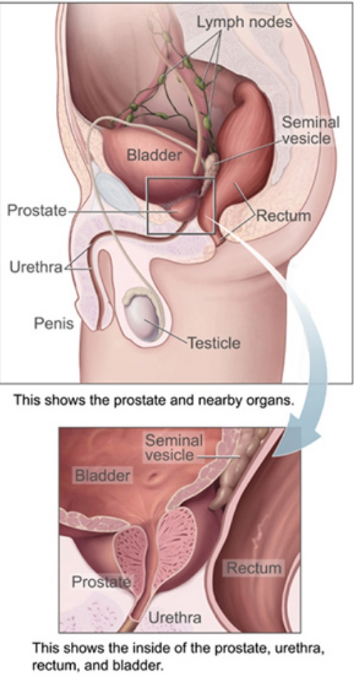 A nice picture from the US National Cancer Institute showing the prostate's location