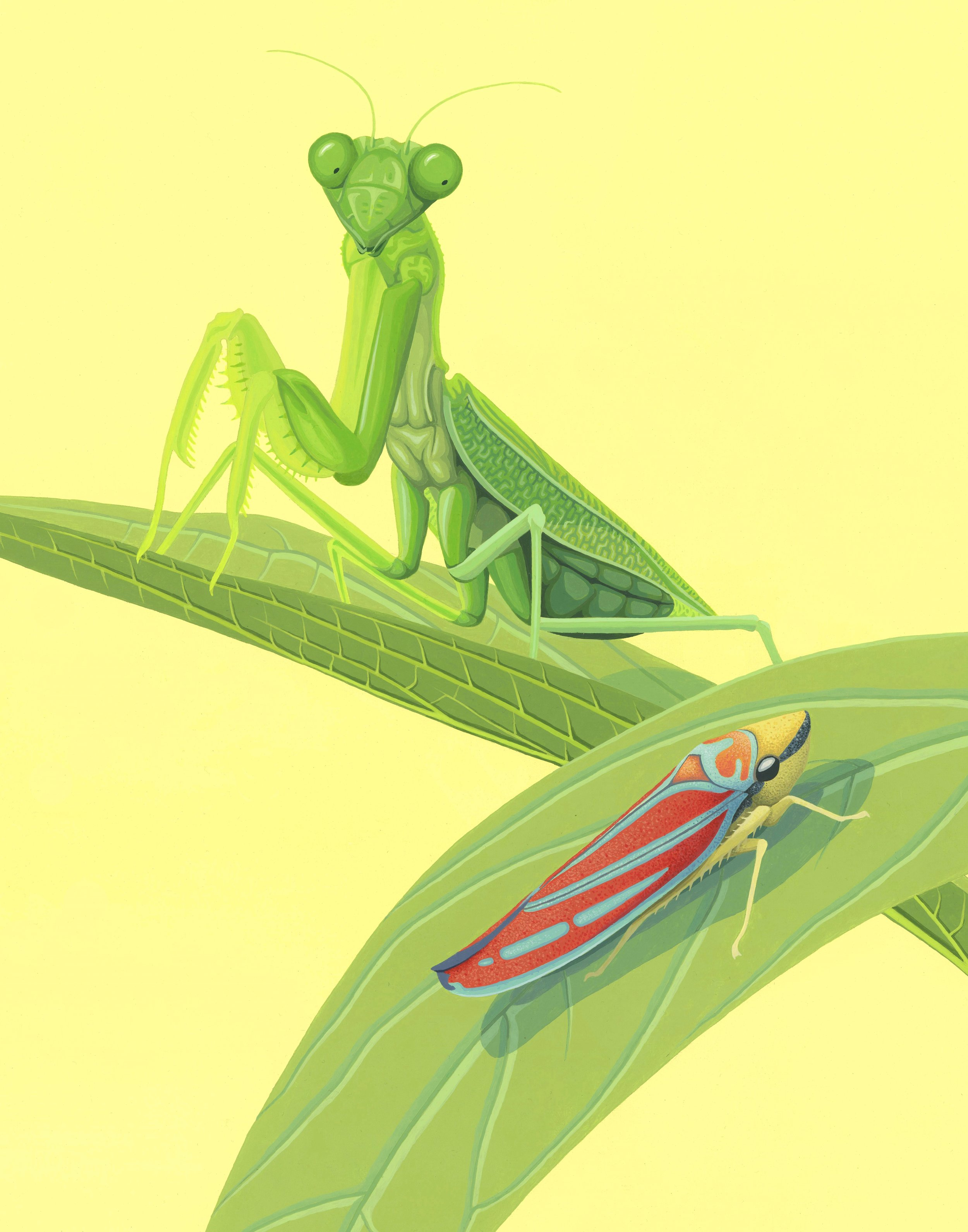 Mantis and Leafhopper