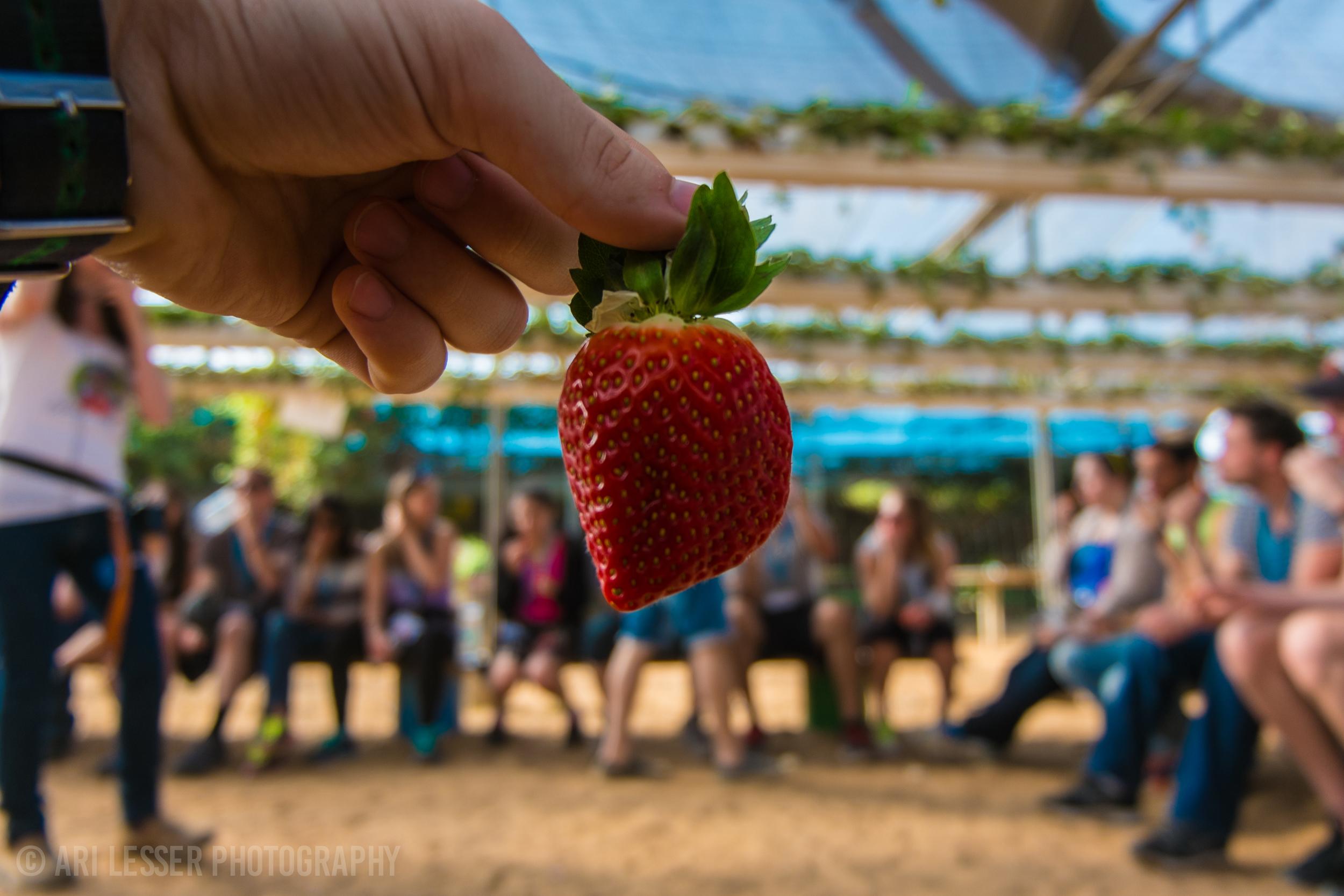 Fresh strawberries. DANK.