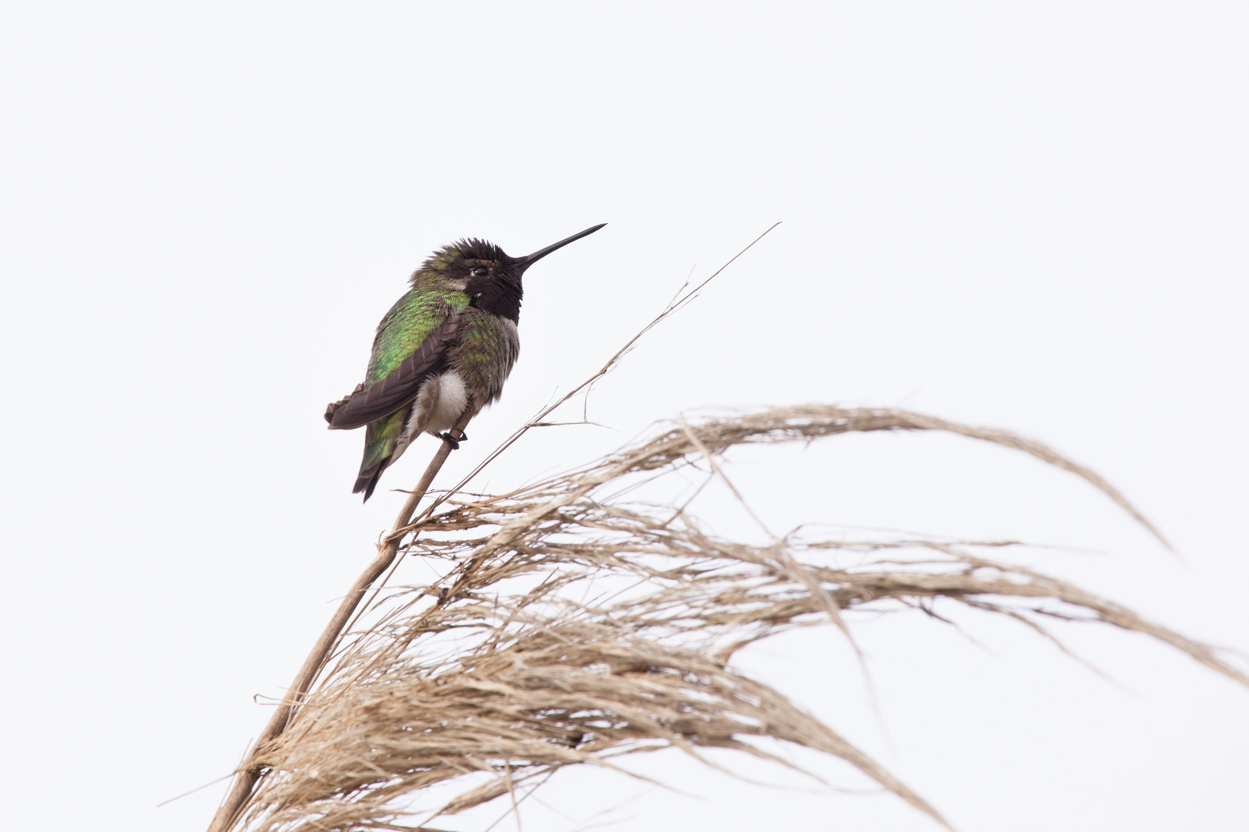 20171225_AlanToth_hummingbird.jpg