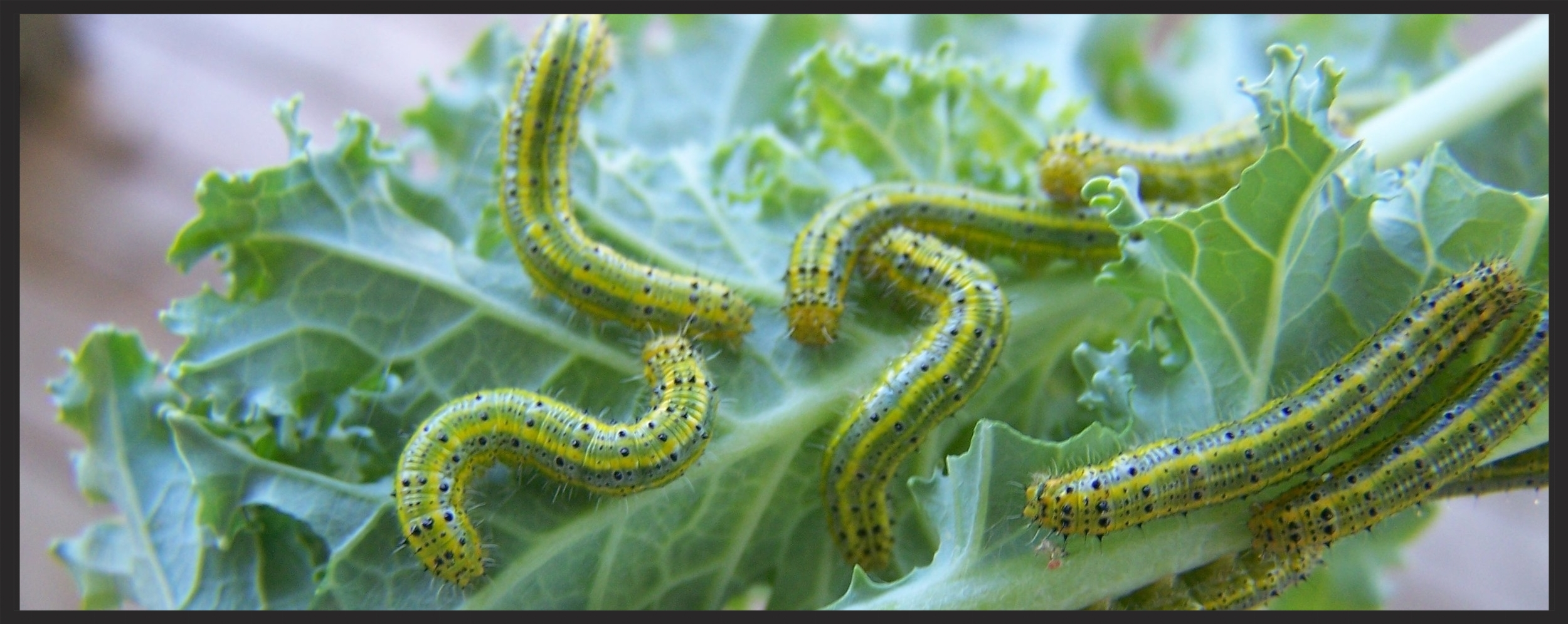 Some VERY hungry caterpillars!