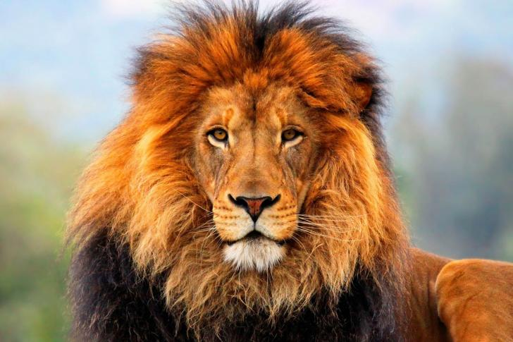 Lion-013-485x728.jpg