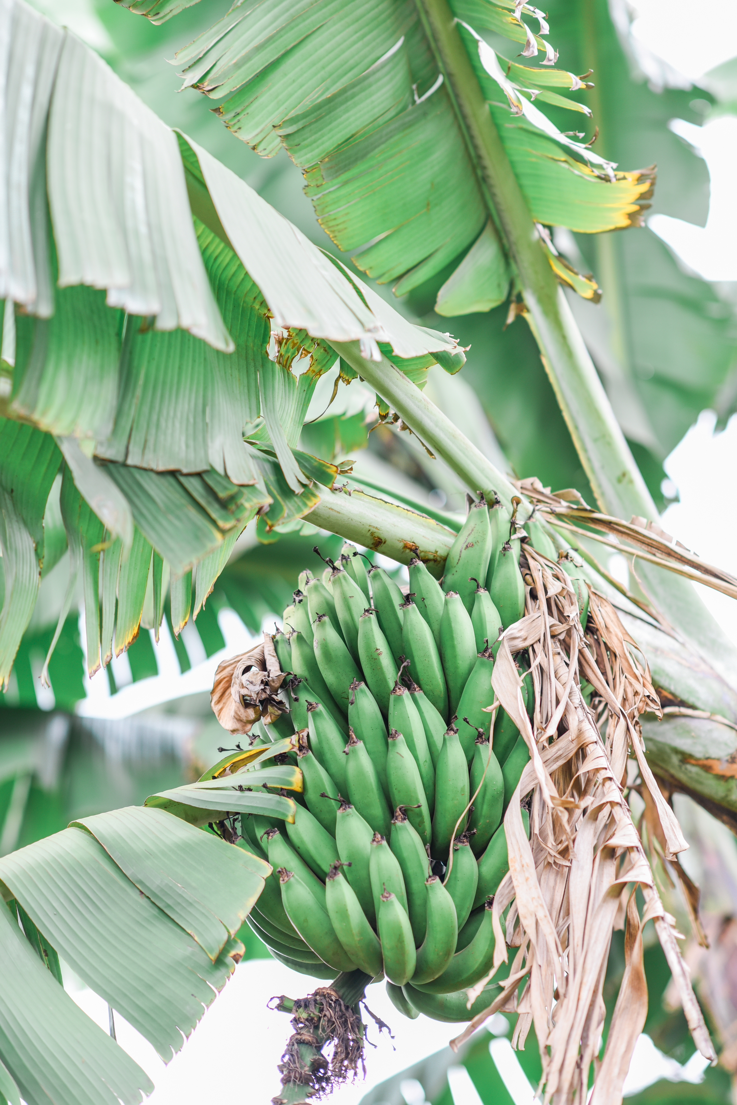 banana tree_Hannah Teague Photography