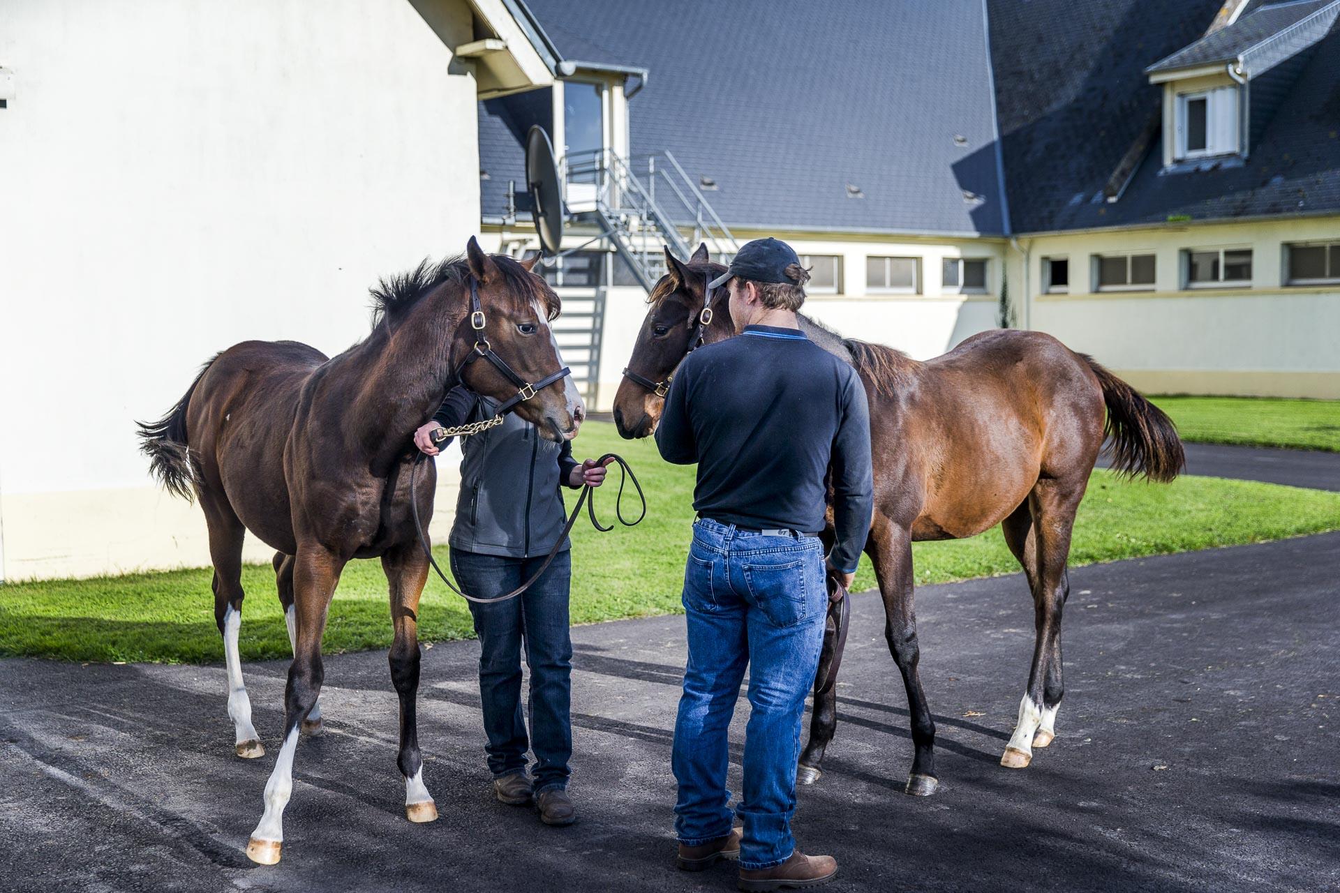 élevage chevaux normandie
