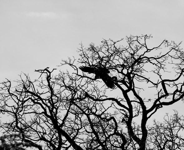 swooping raven.jpg
