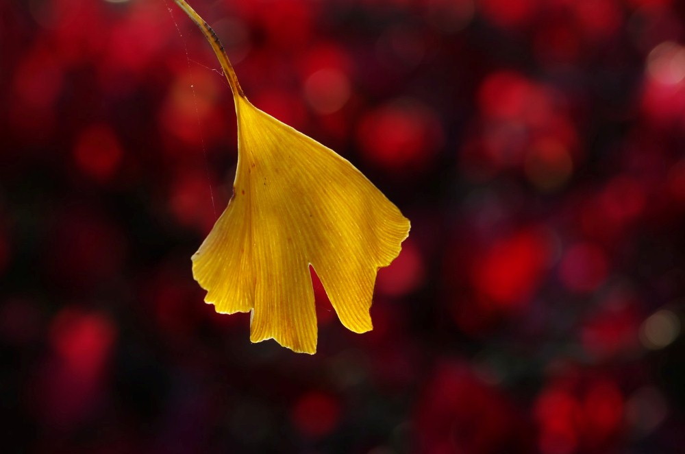 GINKGO by Colin Page.JPG