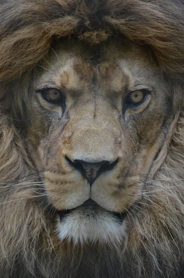 MILO THE BARBARY LION by Tony Ham.jpg