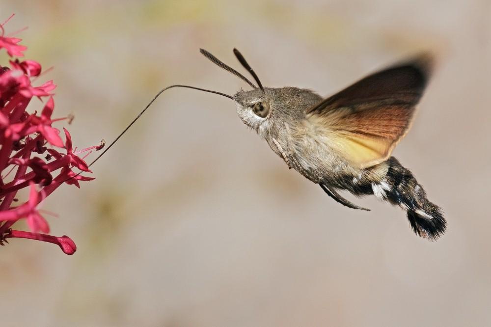 Hummingbird Hawk Moth by John Bogle.jpg