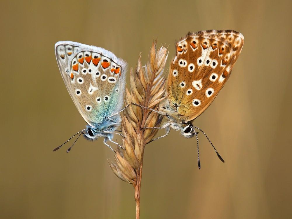 Male Common Blue & Female Chalkhill Blue by John Bogle.jpg