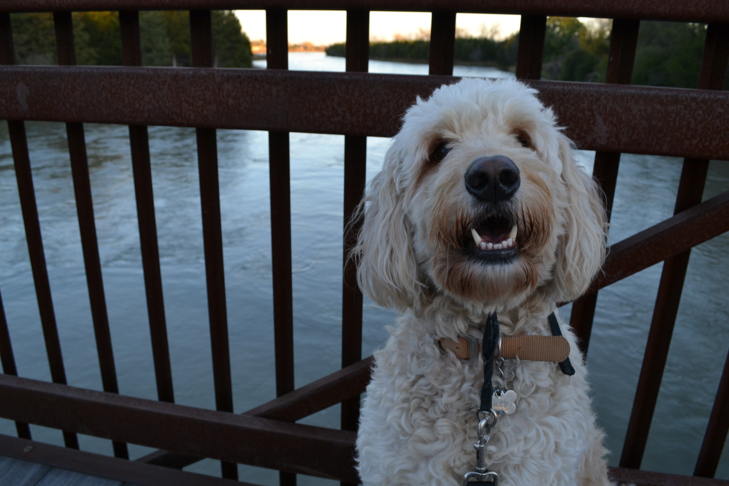 A happy and healthy Costello on the pedestrian bridge over the Middle Loup River.
