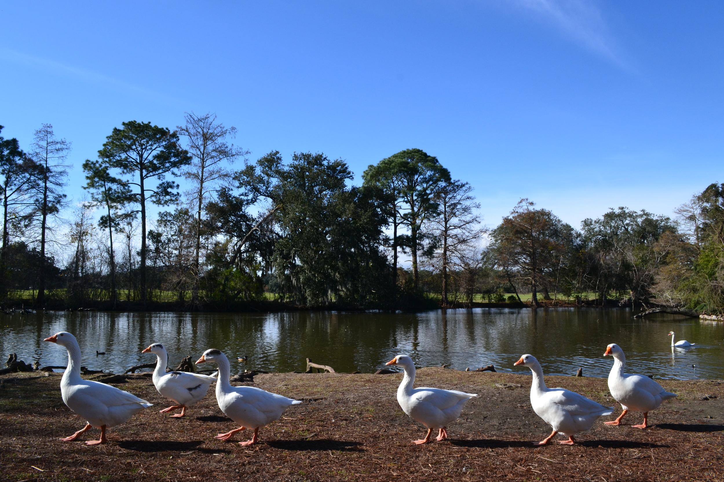 More ducks at Audubon Park.