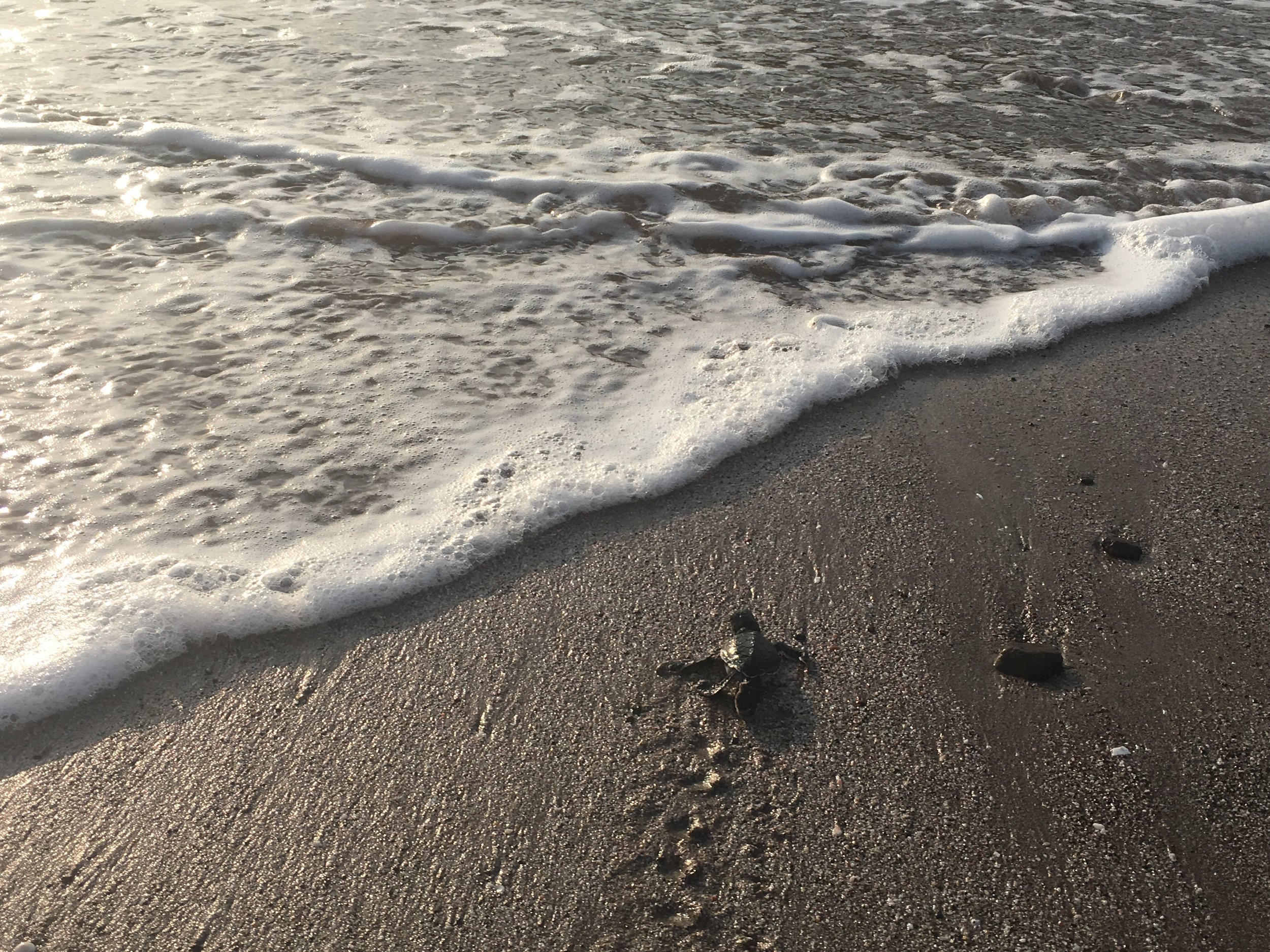 Baby sea turtle makes its way to the ocean after a nest excavation with the project coordinator.