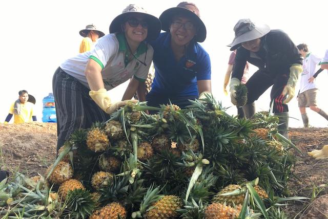 OE Cari and Tan Tao University students harvest pineapples.
