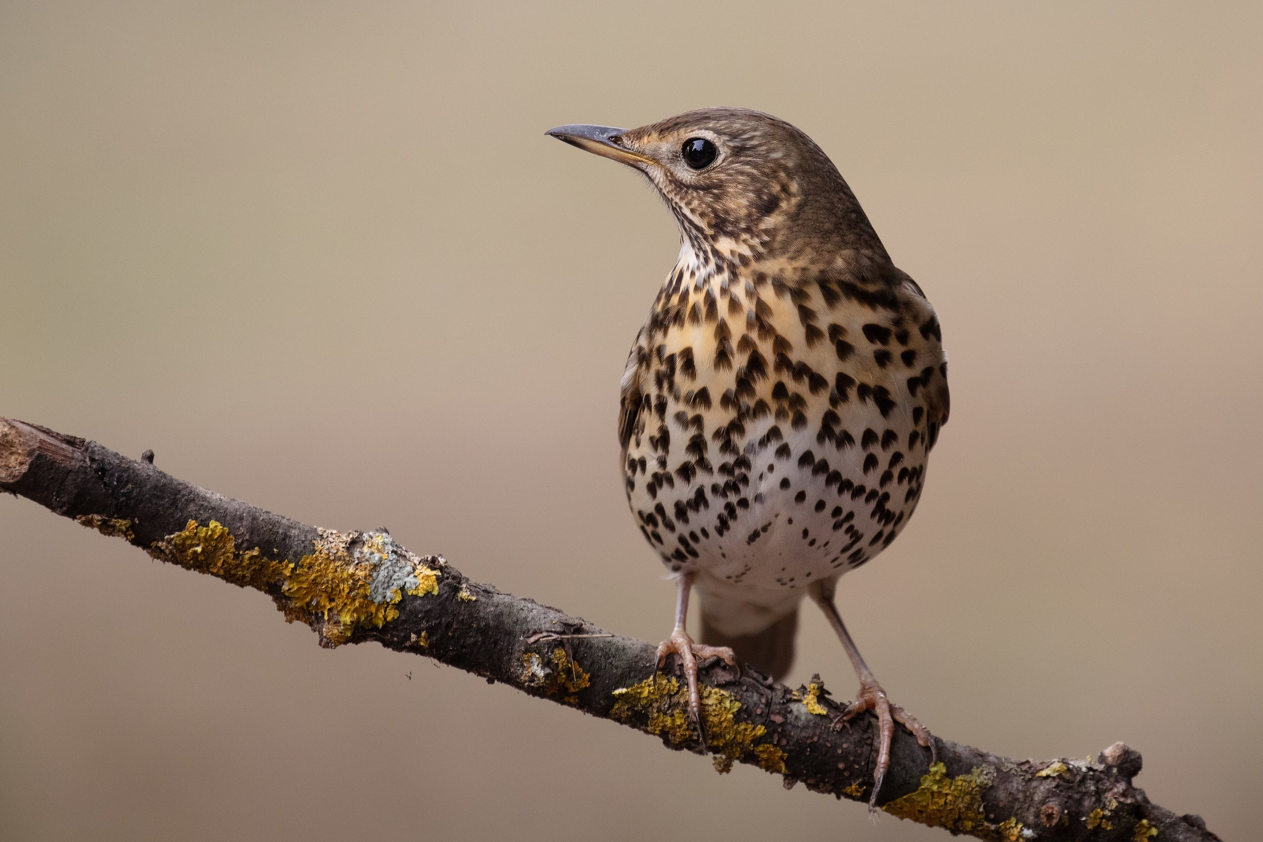 THRUSHES & CHATS
