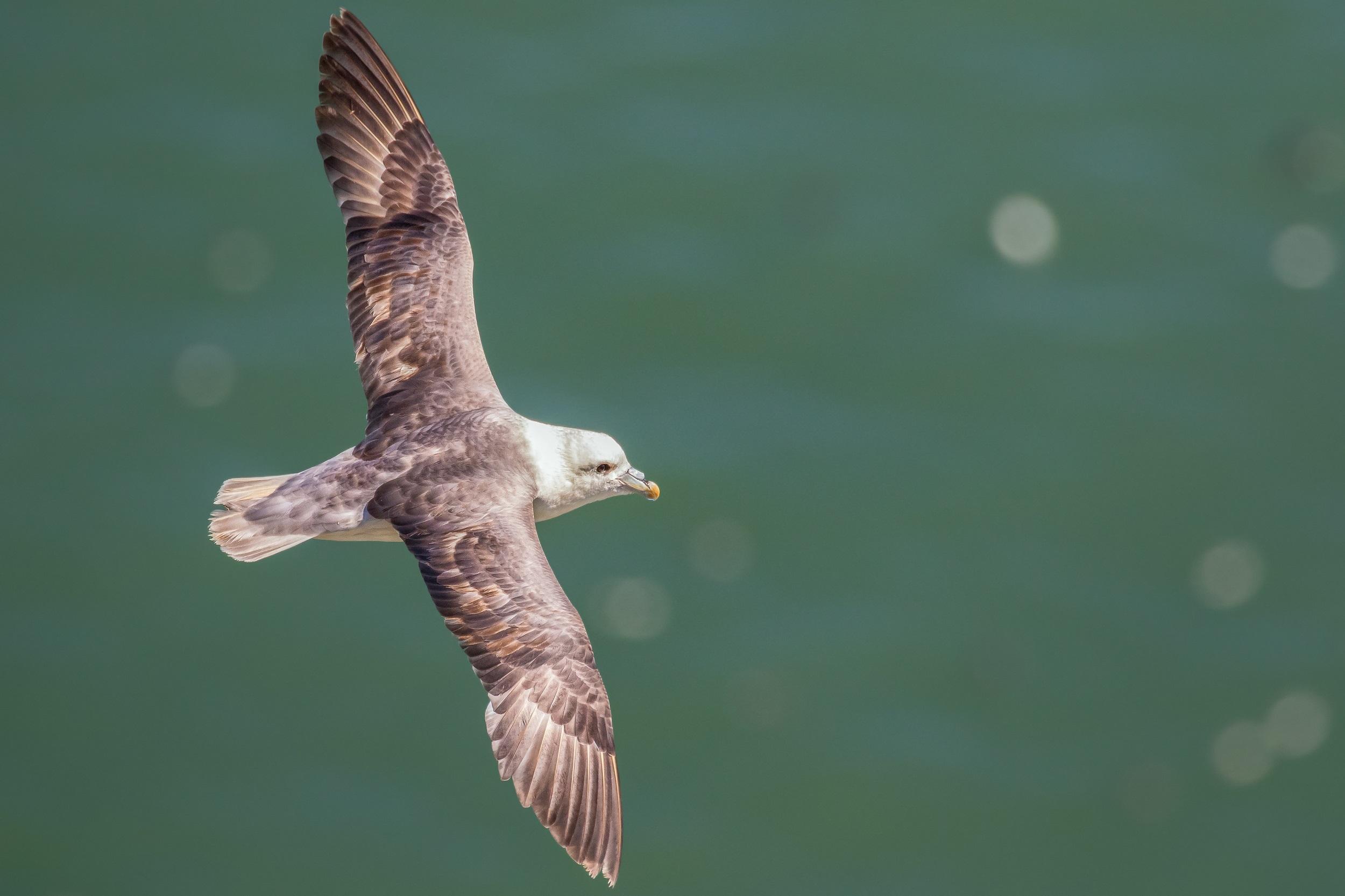 SHEARWATERS, PETRELS & OTHER SEABIRDS