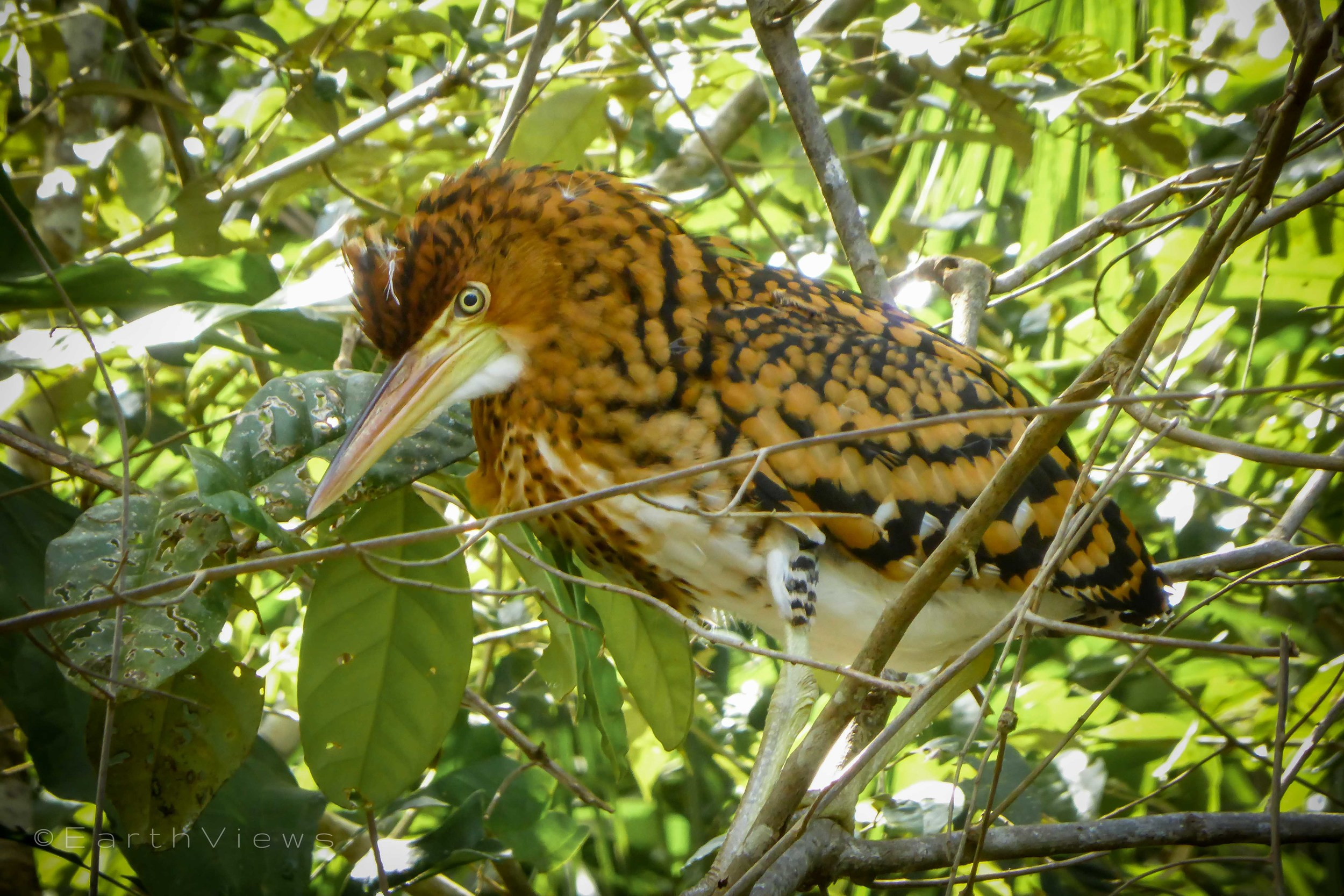 On the way to Siona Lodge: a young tiger heron is trying to maintain its balance while walking on a branch.