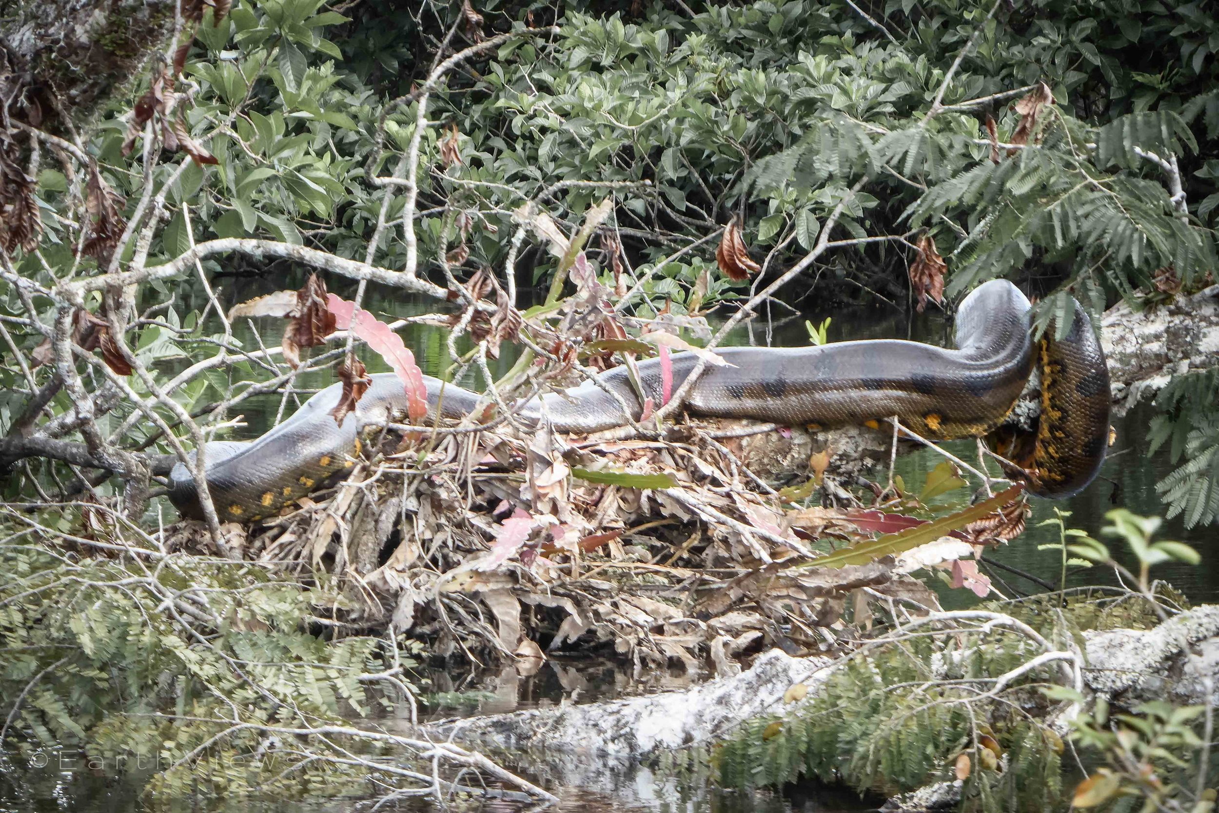 An anaconda twirled around a macrolobium tree standing in the water.