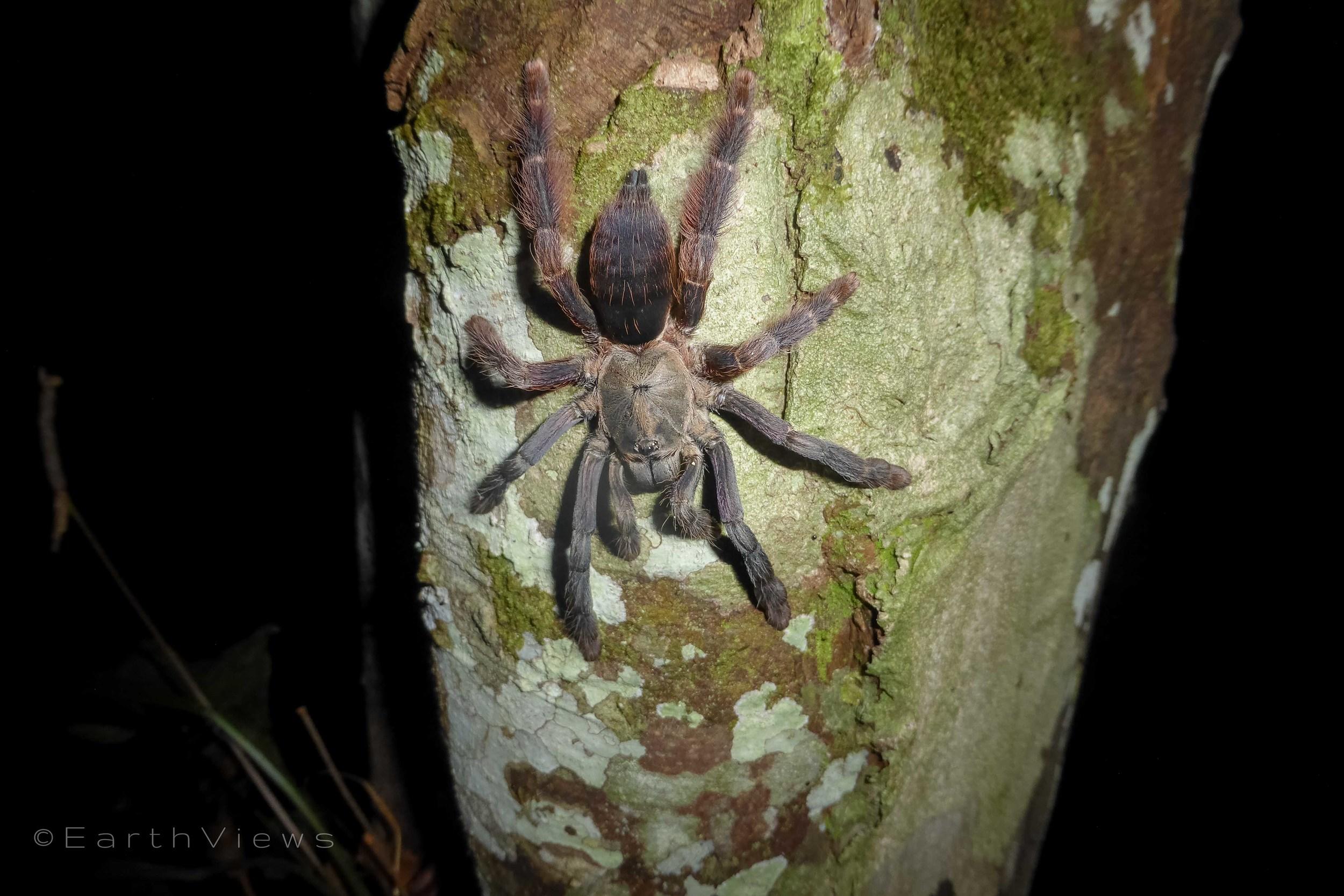 A 30-centimetre tarantula sitting on the tree next to the hut.