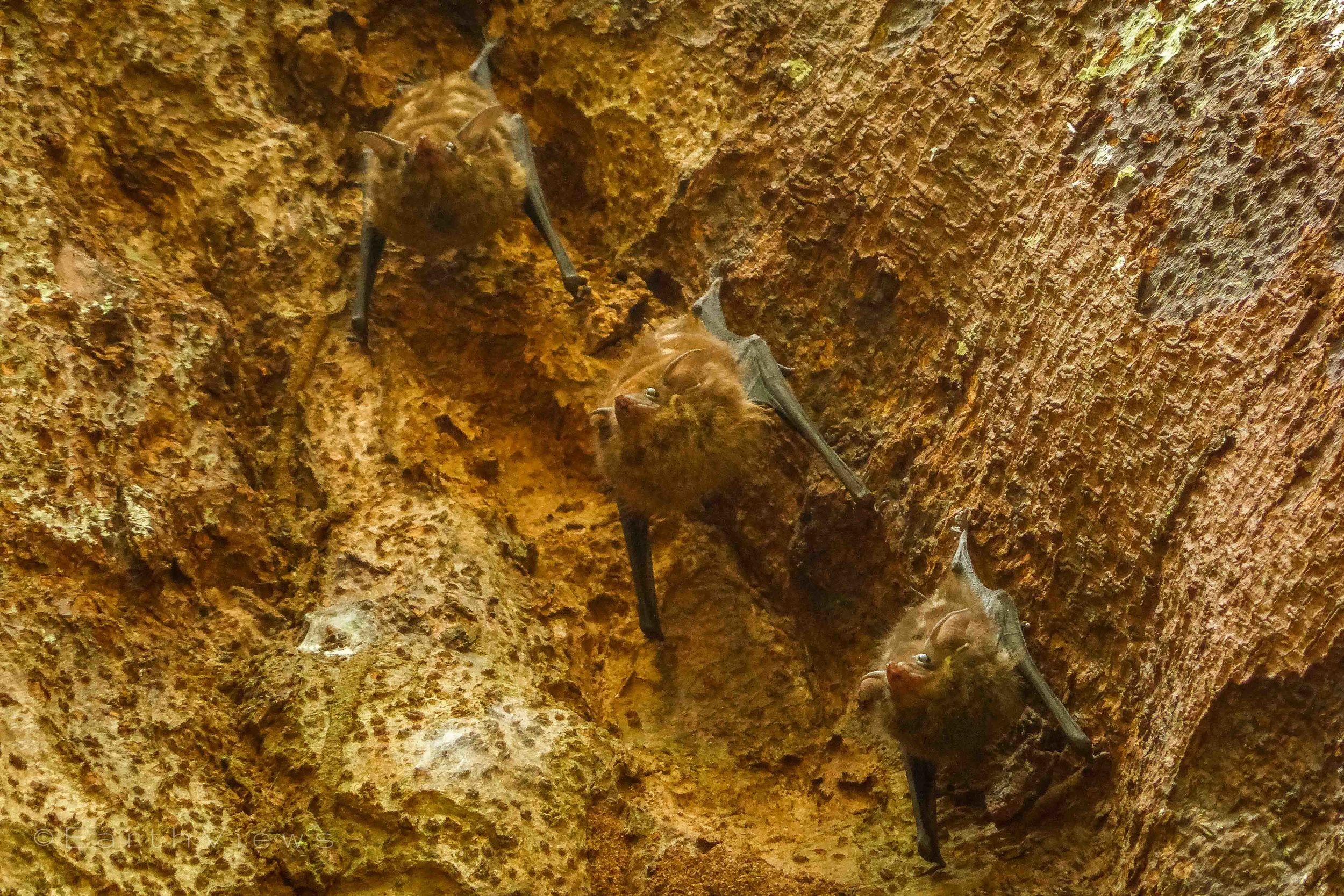 Three Bats, well camouflaged, doing their weird moves.