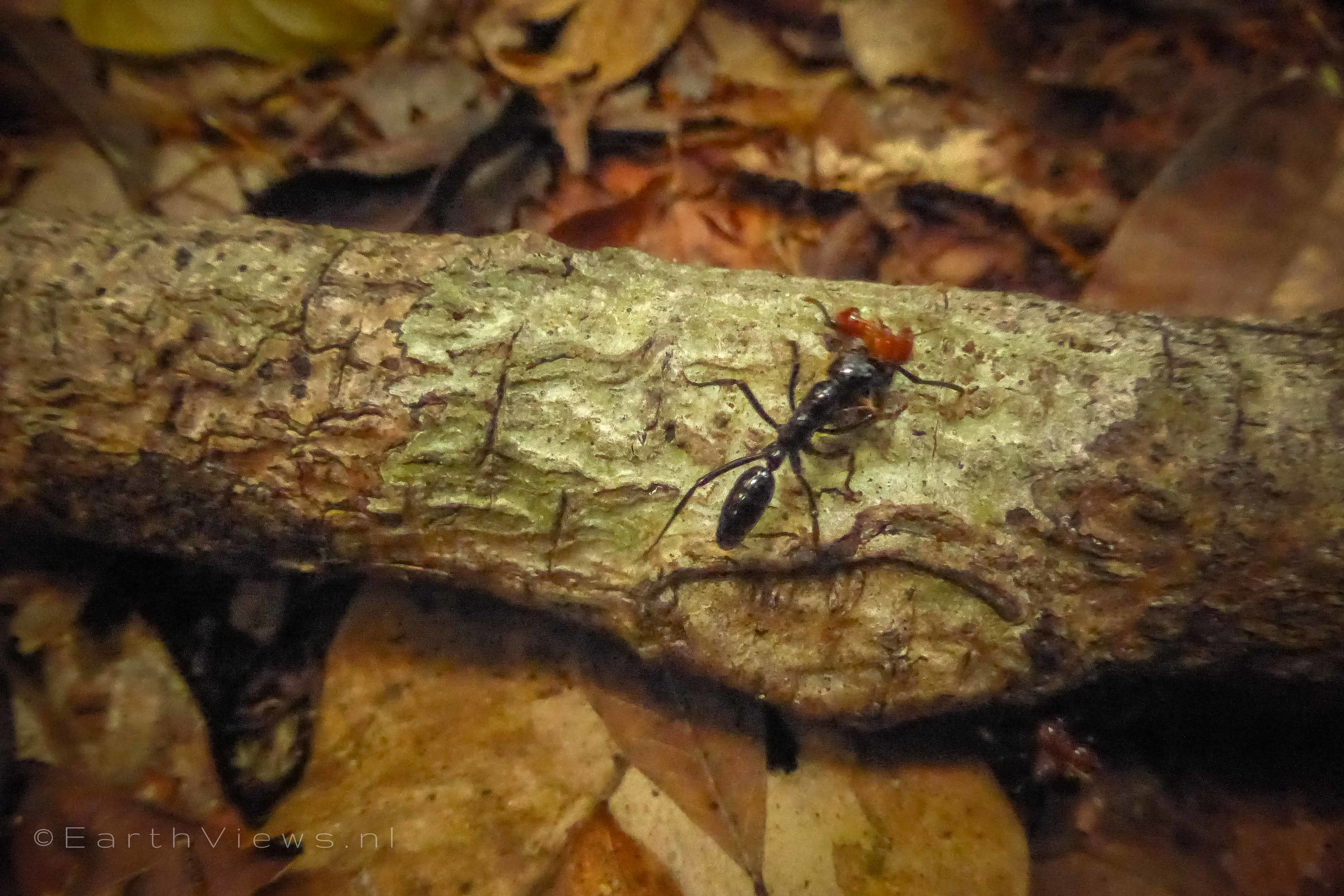 One of the trap jaw ants that were causing jungle trouble.